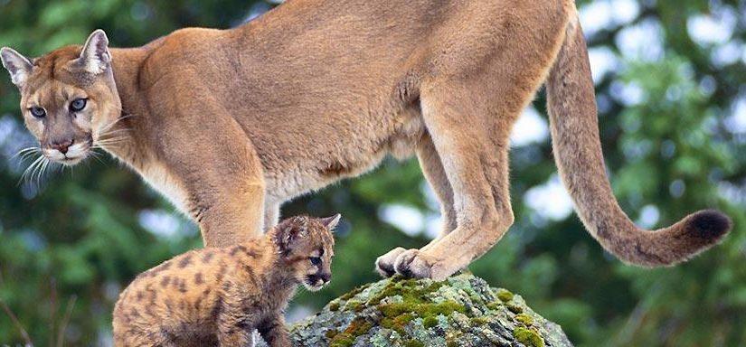 Ordenan matar pumas en el Parque Nacional Iguazu